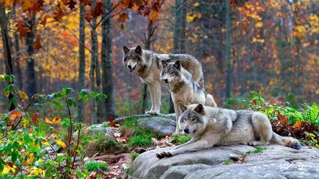 Сочинение про Волка (2, 3, 4, 5, 6, 7, 8 класс)