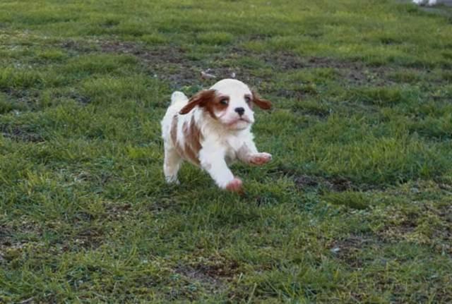 Собачье сердце - сочинение-рассуждение по произведению